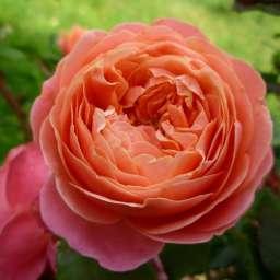 Роза ЧАЙНО-ГИБРИДНАЯ И ФЛОРИБУНДА МЭРИ ЭНН