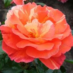 Роза ЧАЙНО-ГИБРИДНАЯ И ФЛОРИБУНДА ПОЛЬ ГОГЕН