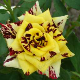 Пёстрые сорта роз СИМ-САЛАБИМ