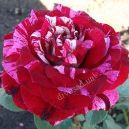 Пёстрые сорта роз ХУЛИО ИГЛЕСИАС, контейнер, 5 л