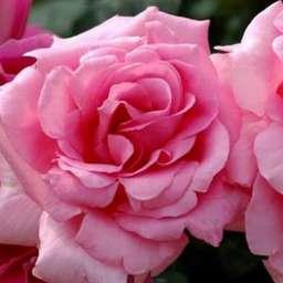 Роза ЧАЙНО-ГИБРИДНАЯ И ФЛОРИБУНДА ЖАРДИН ДЕ ВИЛЛАНДРИ
