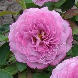 Роза флорибунда ЛАВАНДЕР АЙС (Tantau)