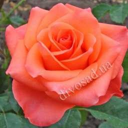 роза вау-вау описание фото