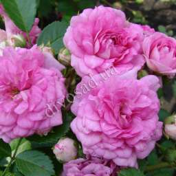 Роза почвопокровная КНИРПС (Kordes)