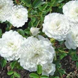 Роза  ПОЧВОПОКРОВНАЯ СВАНИ (Meilland)