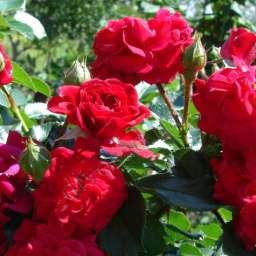 Роза  ШТАМБОВАЯ ХЕЛЛОУ, 3 года, в контейнере 7,5 л