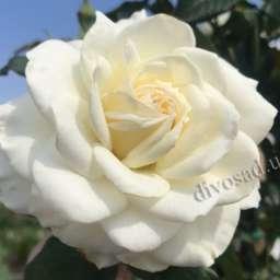 Роза  ШТАМБОВАЯ БЬЯНКА, 2 года
