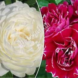 Штамбовые  розы  с английскими сортами КЛЕР ОСТИН+БАРОН ЖИРО ДЕ ЛЕН, h=150 см, 2 года