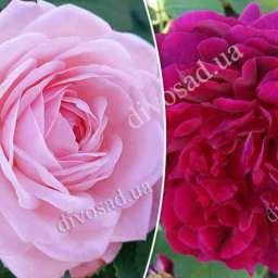 Штамбовые  розы  с английскими сортами ОЛИВИЯ РОУЗ ОСТИН+МАНСТЕД ВУД, h=140-150 см, 2 года