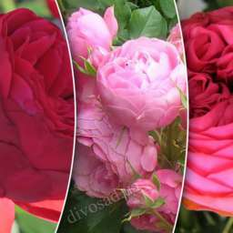Роза  ШТАМБОВАЯ ПИАНО+ПИНК ПИАНО+ПОМПОНЕЛЛА