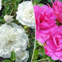 Роза  ШТАМБОВАЯ РОДИ+СВАНИ