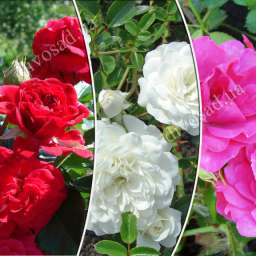 Роза  ШТАМБОВАЯ РОДИ+ХЕЛЛОУ+СВАНИ