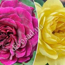 Штамбовые  розы  с английскими сортами ТРАДЕСКАНТ+АННИ ДЮПРЕ, h=140 см, 2 года