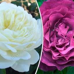 Штамбовые  розы  с английскими сортами ТРАНКВИЛИТИ+БЛЮ ЭДЕН, h=140-150 см, 2 года