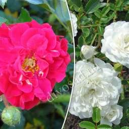 Роза  ШТАМБОВАЯ ХЕЛЛОУ+СВАНИ