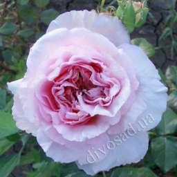 Роза  АНГЛИЙСКАЯ МАРИЯ ТЕРЕЗИЯ