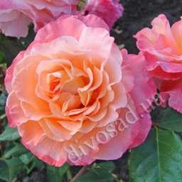 Роза романтическая АВГУСТА ЛУИЗА (М. Tantau)