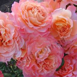 Роза  АНГЛИЙСКАЯ АВГУСТА ЛУИЗА