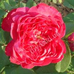 Роза в КОНТЕЙНЕРЕ БЕНДЖАМИН БРИТТЕН /контейнер 5 л