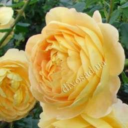 Роза романтическая ГОЛДЕН СЕЛЕБРЕЙШЕН (D. Austin)