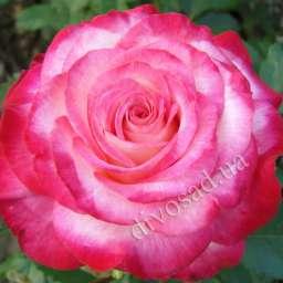 Роза в КОНТЕЙНЕРЕ