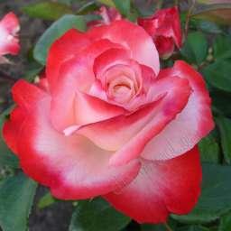 Роза в КОНТЕЙНЕРЕ НОСТАЛЬЖИ /контейнер 5 л