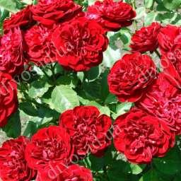 Роза миниатюрная КАРДУЛА (Kordes)