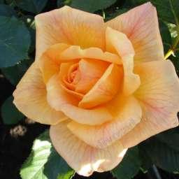 Роза ПАРКОВАЯ МИШКА (Meilland)