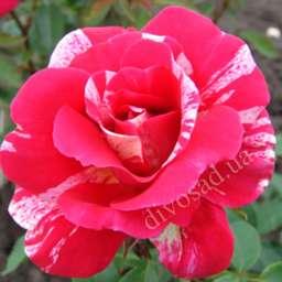Роза ПАРКОВАЯ ТОКАДО (Meilland)