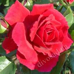 Роза плетистая АМАДЕУС (Kordes)