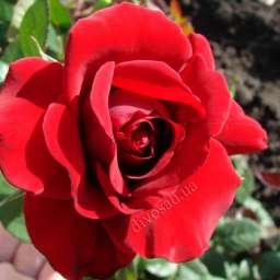 Красные, малиновые,  ярко-розовые сорта плетистых роз СИМПАТИ