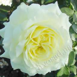 Роза ПЛЕТИСТАЯ ЭЛЬФ (Tantau)