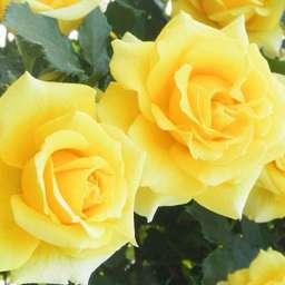 Персиковые, оранжевые, жёлтые сорта плетистых роз РИМОЗА