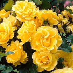 Персиковые, оранжевые, жёлтые сорта плетистых роз ГОЛДЕН ШАУЭРС