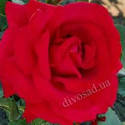 Красные, малиновые,  ярко-розовые сорта плетистых роз ГРАНДЕССА