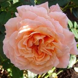 Роза ПЛЕТИСТАЯ ПОЛЬКА-91 (Meilland)