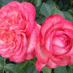 Роза ПЛЕТИСТАЯ АНТИК-89 (Kordes)
