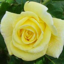Персиковые, оранжевые, жёлтые сорта плетистых роз КАЗИНО