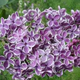 Саженцы  пурпурно-фиолетовой сирени CЕНСАЦИЯ, h=80 см, контейнер 7 л