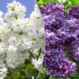 Саженцы  пурпурно-фиолетовой сирени Мадам Казимир ПЕРЬЕ+ОГНИ ДОНБАССА, h=60 см, контейнер 7 л