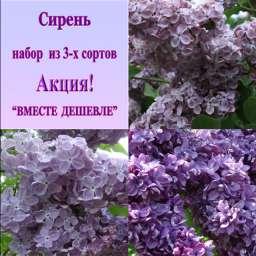 Мулатка+Огни Донбасса+Мечта, h=80-100 см