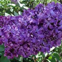 Саженцы  пурпурно-фиолетовой сирени НАЙТ, h=100 см, контейнер 7 л