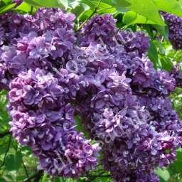 Саженцы  пурпурно-фиолетовой сирени ОГНИ ДОНБАССА,  2 года, h=80 см, ОКС