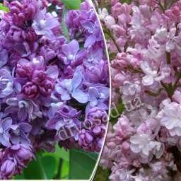 Саженцы  пурпурно-фиолетовой сирени ПОЛЬ ТИРИОН+БЕЛЬ ДЕ НАНСИ, h=120 см, контейнер 7 л