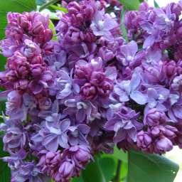 Саженцы  пурпурно-фиолетовой сирени ПОЛЬ ТИРИОН, h=80 см, контейнер 7 л