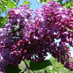 Саженцы  пурпурно-фиолетовой сирени РУМ ФОН ХОРСТЕНШТАЙН, h=110 см, контейнер 7 л