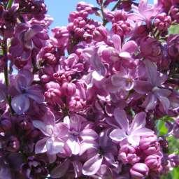 Саженцы  пурпурно-фиолетовой сирени ВИОЛЕТТА,  h=70 см, контейнер 7 л