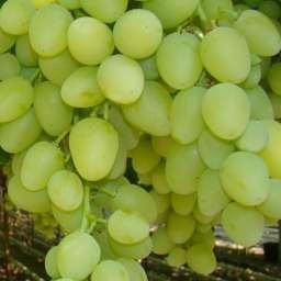 Ранние сорта винограда  привитого АРКАДИЯ