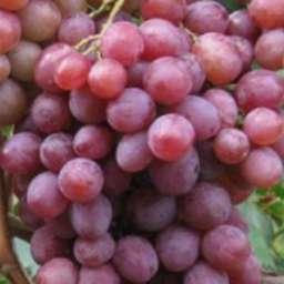 Виноград с розовыми ягодами РУБИНОВЫЙ ЮБИЛЕЙ