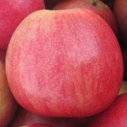 Двухлетние саженцы яблони АЙДАРЕД, 2 года